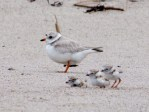 piping-plovers