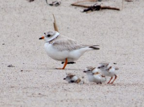 Piping plovers on the beach at Parker River National Wildlife Refuge in Massachusetts. Photo by Kaiti Titherinton, U.S. Fish and Wildlife Service. From the US Department of the Interior blog, 10/12/16.