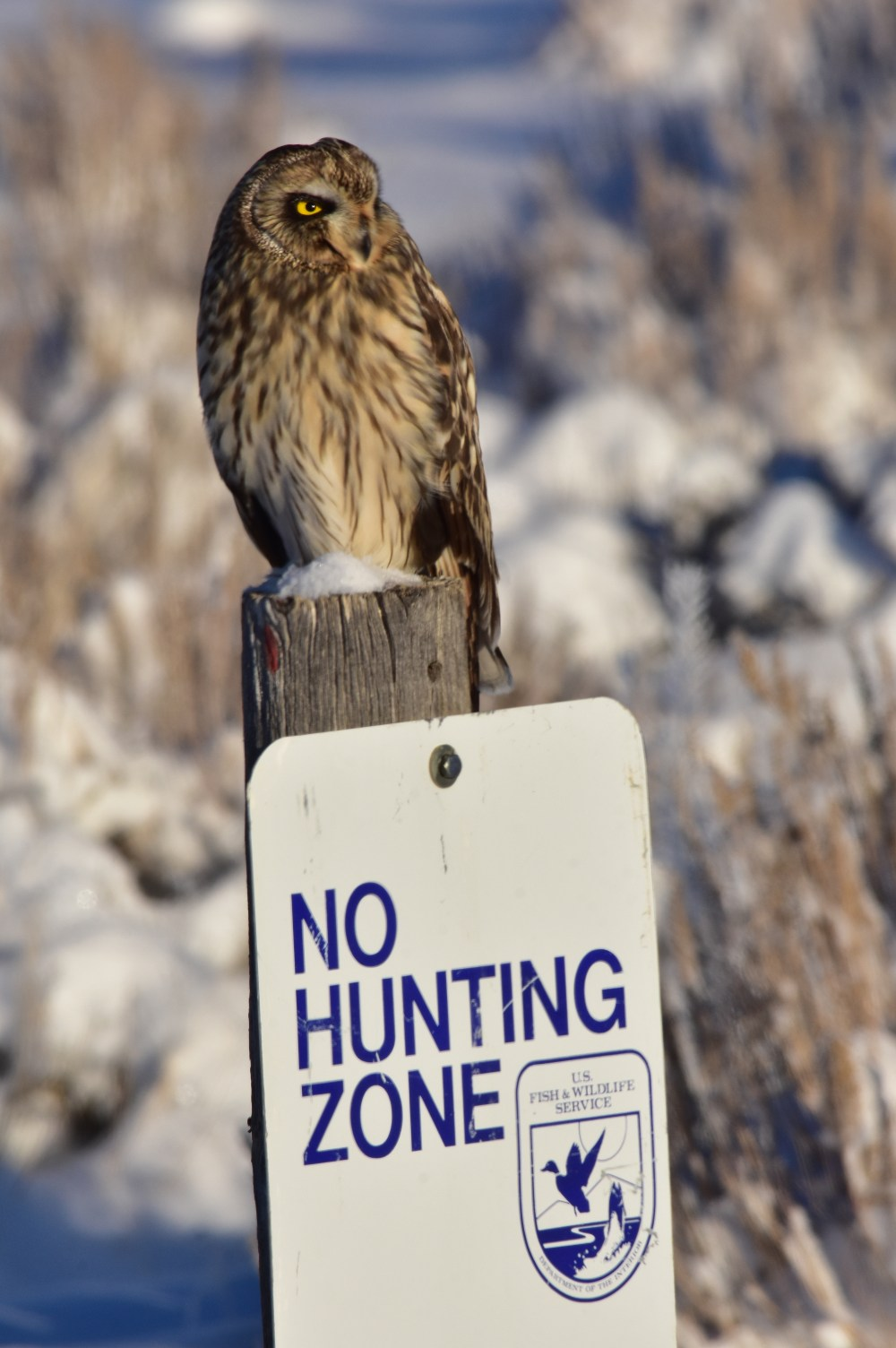 By his expression, I'm pretty sure that this Short-eared Owl isn't going to follow the instructions. Photo taken 1/5/17 on the Seedskadee National Wildlife Refuge, and then posted on Flickr by the US Fish & Wildlife Service. Photo by Tom Koerner/USFWS. Posted on 1/9/17.