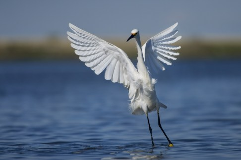 Snowy egret landing on the water at Edwin B. Forsythe National Wildlife Refuge in New Jersey. Photo by Ray Hennessy. From the US Department of the Interior blog, 10/12/16.