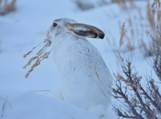 A white-tailed jackrabbit browsing on Wyoming big sagebrush on Seedskadee NWR. Photo: Tom Koerner/USFWS. Posted on Flickr by the US Department of the Interior.