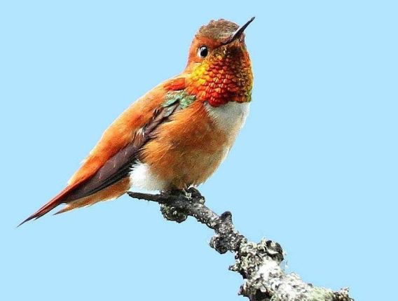 A rufous hummingbird perches at William L. Finley National Wildlife Refuge, in the Willamette Valley 10 miles south of Corvallis, Oregon. Photo by Jim Leonard. From the US Fish & Wildlife Service website.