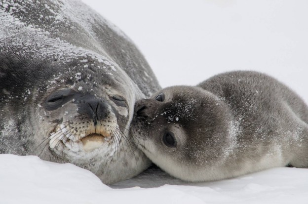 The Weddell seal population of Erebus Bay, Antarctica, has been extensively studied for over 40 years. It's one of the longest running studies of a long-lived mammal. Between September and October, Weddell seals give birth to one pup, and the pup will stay with the mother for 5-6 weeks. Photo by William Link, USGS. From the Department of the Interior blog, 2/13/17.