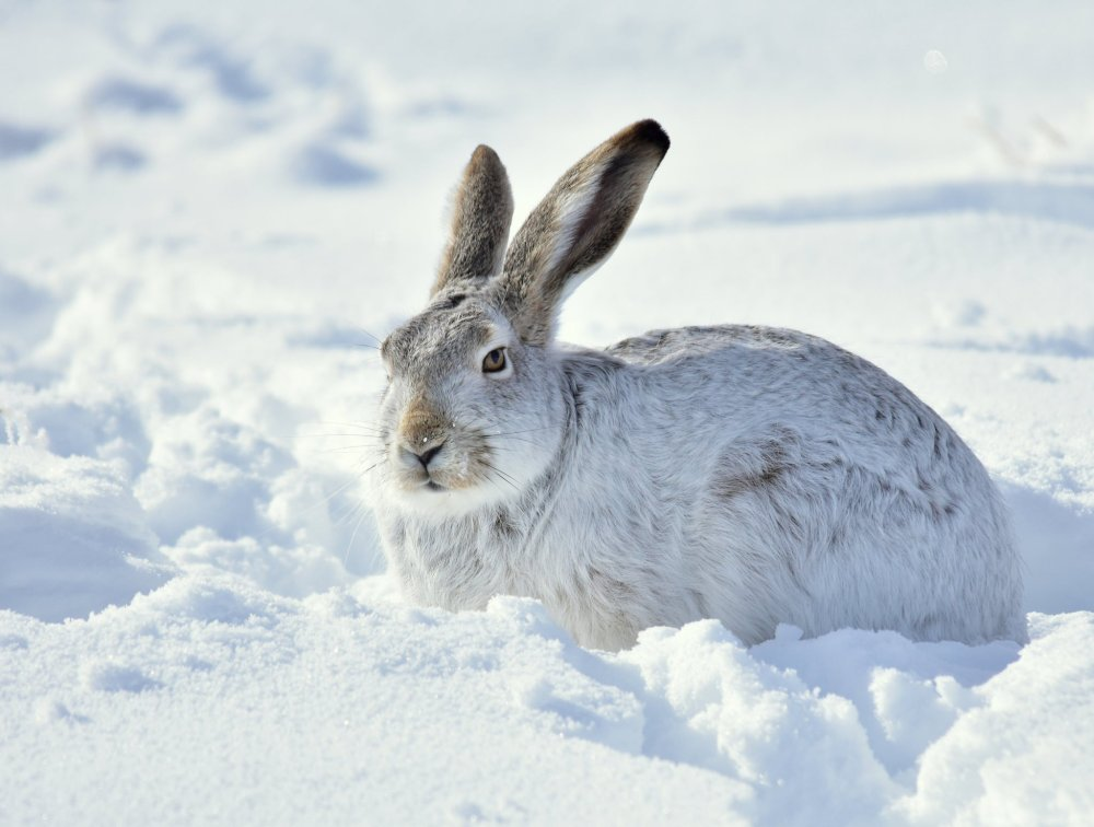A White-tailed Jackrabbit sits still to avoid predators while blending into the snowscape. Photo taken at Seedskadee National Wildlife Refuge by by Tom Koerner, USFWS. Tweeted by the US Department of the Interior, 2/20/17.