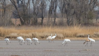 "A rare glimpse of 11 Whooping Cranes, 9 adults and 2 juveniles, on the ""tern pad"" flats at Quivira National Wildlife Refuge. Tweeted by the US Department of the Interior, 2/4/17."