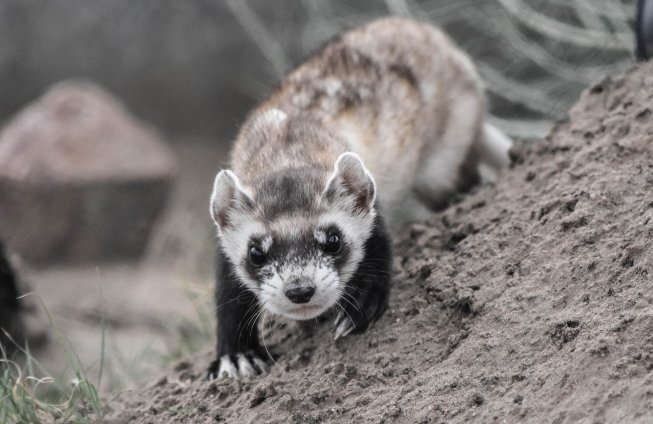 Black-footed ferrets are nocturnal, leaving their burrows at night to hunt prairie dogs. Photo: Elisa Dahlberg / USFWS. Tweeted by the US Fish & Wildlife Service 3/4/17.