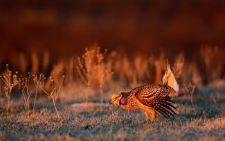 Sharp-tailed Grouse in North Dakota. Photo by Rick Bohn / USFWS. Taken 4/19/17 and posted on Flick by the US Department of the Interior.
