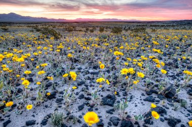 California's Mojave Trails National Monument erupts in color with spring blooms. Tweeted by the US Department of the Interior, 3/16/17.