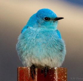 Because of the flexibility of their diet, mountain bluebirds are able to migrate north earlier than most birds. Photo by Dave Fitzpatrick. Posted on Facebook by the US Fish & Wildlife Service, 4/7/17.