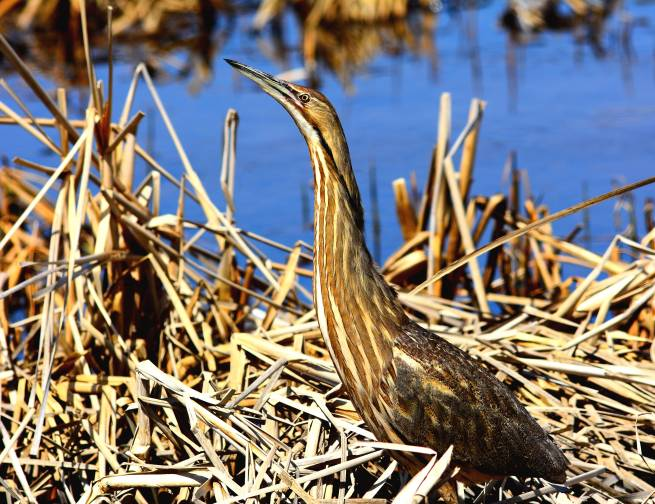 American Bittern. Photo by Rick Bohn / USFWS. Uploaded to Flickr by the US Fish & Wildlife Service, 5/2/17.