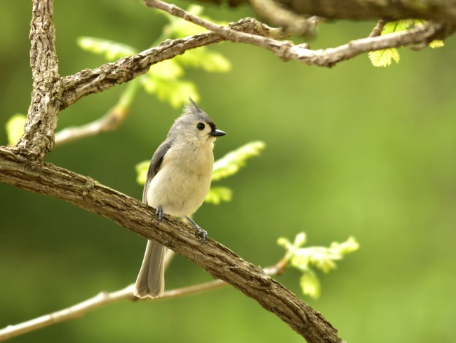 "A tufted titmouse has just about everything you could ask for in a backyard bird. Petite and strikingly elegant, it's as perky as a chickadee. In fact, it's a cousin to the chickadee. And as it comes boldly to your seed or suet feeders, the tufted titmouse will even hang upside down like an acrobat. So what's in that peculiar name, ""titmouse""? The name descends from two ancient Anglo-Saxon root words — ""tit,"" from a word meaning something small. And ""mouse,"" from a word applied to any small bird, as well as that little rodent. Photo by Tom Koerner/USFWS. Tweeted by the US Fish & Wildlife Service, 4/24/17."