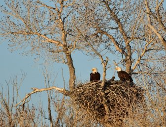 "This pair of Wyoming bald eagles has used this location/nest for almost 10 years and has fledged over 20 young over their ""career"". Tweeted by the US Fish & Wildlife Service, 5/8/17."