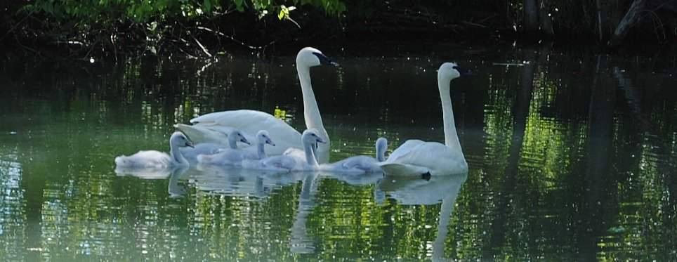 Swan family, tweeted by the US Fish & Wildlife Service, 5/12/17.