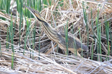 """The American bittern is a rare sight...not because they are uncommon, but because of their secretive, solitary nature and streaky camouflage. They are more commonly heard than seen. Their call is an odd sound that could be described as """"gulping"""". Their nicknames include: """"stake-driver,"""" """"thunder-pumper,"""" """"water-belcher,"""" """"mire-drum, and """"shy-poke"""". They commonly eat fish, frogs, and insects, and have the ability to focus their eyes downward (making them appear cross-eyed at times). The bittern will stand completely still and point its bill into the air to blend in with the vegetation around it. This bittern is using a wetland protected by a FWS wetland easement in the Kulm Wetland Management District in North Dakota. Photo by Krista Lundgren/USFWS. Taken 5/16/17 and posted on Flickr by the US Fish & Wildlilfe Service."""