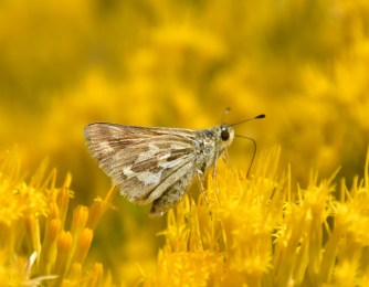 An Uncas skipper (Hesperia uncas) nectaring on a rubber rabbitbrush at Seedskadee National Wildlife Refuge. Photo by Tom Koerner/USFWS. Taken on 8/16/16 and posted on Flickr by the US Fish & Wildlife Service.
