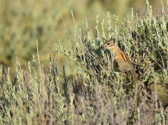 A least chipmunk uses a Wyoming big sagebrush for a lookout. Photo by Tom Koerner/USFWS. Tweeted by the US Fish & Wildlife Service, 6/23/17.