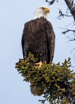 On June 20, 1782, the bald eagle was placed at the center of the Great Seal of the United States and remains a symbol of our proud country. After a dramatic recovery, bald eagles are found in every state but Hawaii, soaring high and inspiring the nation. Photo from the Gulkana Wild and Scenic River in Alaska by Bob Wick, Bureau of Land Management. Posted on Tumblr by the US Department of the Interior, 6/20/17.