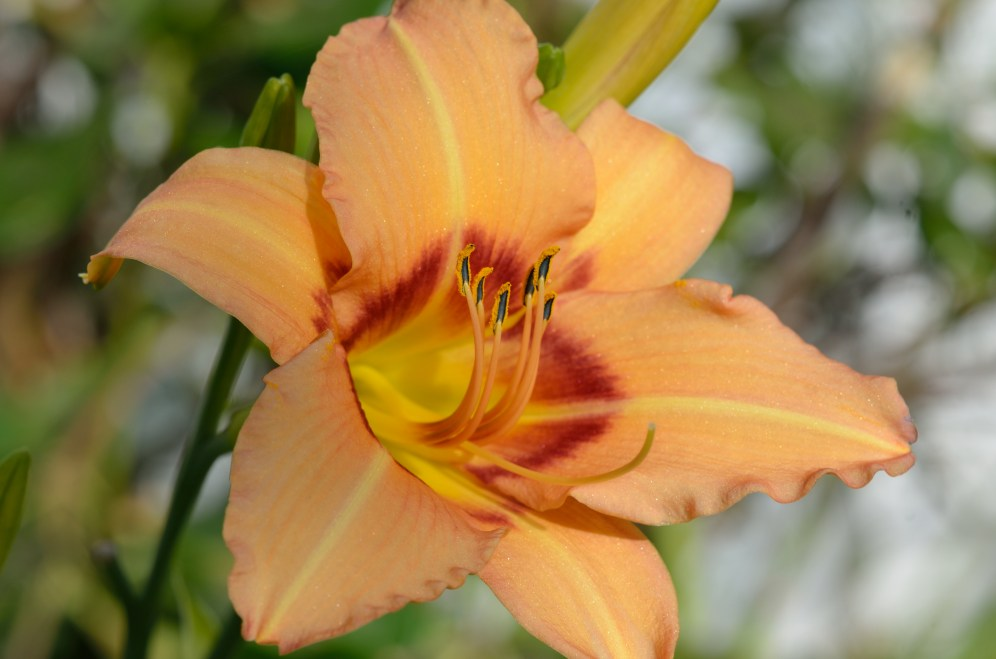 Day Lily 04