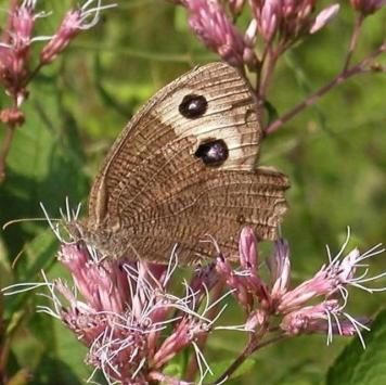 Common wood nymph. From the Park's website.