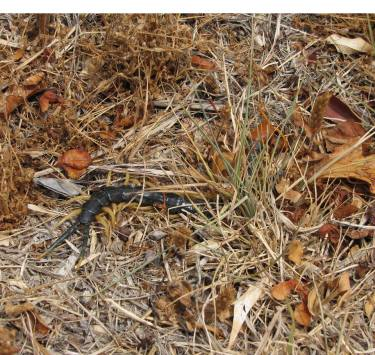 Spotted near the visitor center, this giant desert centipede (Scolopendra heros) made a bee-line for grass and leaf litter when it saw us approaching. Both ends of the centipede are pictured, if a little tough to see. If you find yourself having a hard time telling its head from its tail, well, that's exactly the point. Imagine a predator experiencing the same conundrum. From the Park's Facebook page.