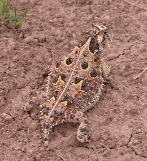 A predator with a mouthful spines from this horned lizard couldn't claim the lizard was asking for trouble. In fact, horned lizards do all they can to avoid being seen--and eaten. Just look at the camoflauge on this one. The lateral spikes (the ones along its flanks) help to break up the lizard's shadow, making it difficult to spot from the air. And, when they sense a predator, horned lizards instinctually freeze, helping them remain unseen. If all that fails, however, there are always the spikes to make a predator think twice about swallowing, especially when a horned lizard puffs up like a blowfish. As a final defense, some horned lizards squirt blood from their eyes. Turns out their blood tastes awful to some predators, especially canines. From the Park's Facebook page.