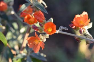 Apricot Mallow 06