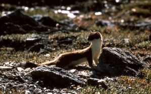 Short-tailed Weasel. From Yellowstone National Park's website.