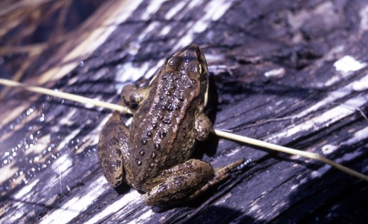Spotted Frog. From the Yosemite National Park's website.