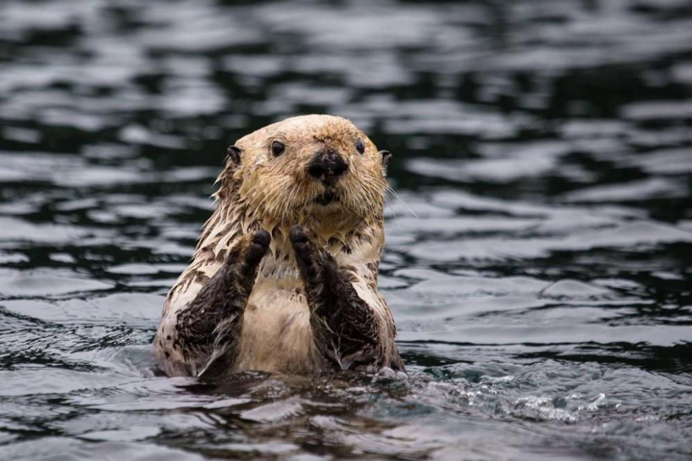 Sea Otter. Tweeted by the US Department of the Interior in honor of Sea Otter Week (really?), 9/23/14.