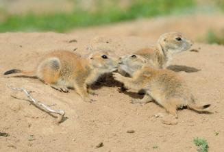 """Prairie dogs greet each other with a """"kiss."""" Photo taken at Rocky Mountain Arsenal National Wildlife Refuge. Photo by Rich Keen. Tweeted by the US Department of the Interior, 11/19/14."""