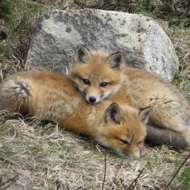 Two fox kits in Maine's Arcadia National Park. Tweeted by the US Department of the Interior, 6/2/15.