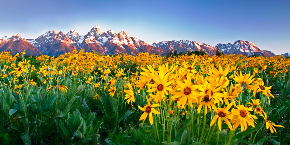 Grand Teton National Park in Wyoming. Kate Garibaldi captured this summer scene of a field of arrowleaf balsamroot flowers framing the Teton Range at sunrise. Posted on Tumblr by the Us Department of the Interior, 6/21/15.