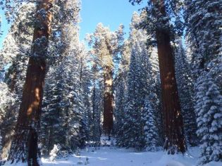 The world's largest tree dusted in snow. It's General Sherman in the Sequoia National Park. Photo tweeted by the US Department of the Interior, 12/8/15.