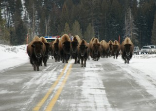This is a different kind of traffic jam at Yellowstone National Park. Bison weigh up to 2,000 lbs and can pack a lot of attitude. They can run up to 35 miles per hour, but these appear to be taking their time. Photo by Allen Beyer. Posted on Tumblr by the US Department of the Interior, 12/27/15.