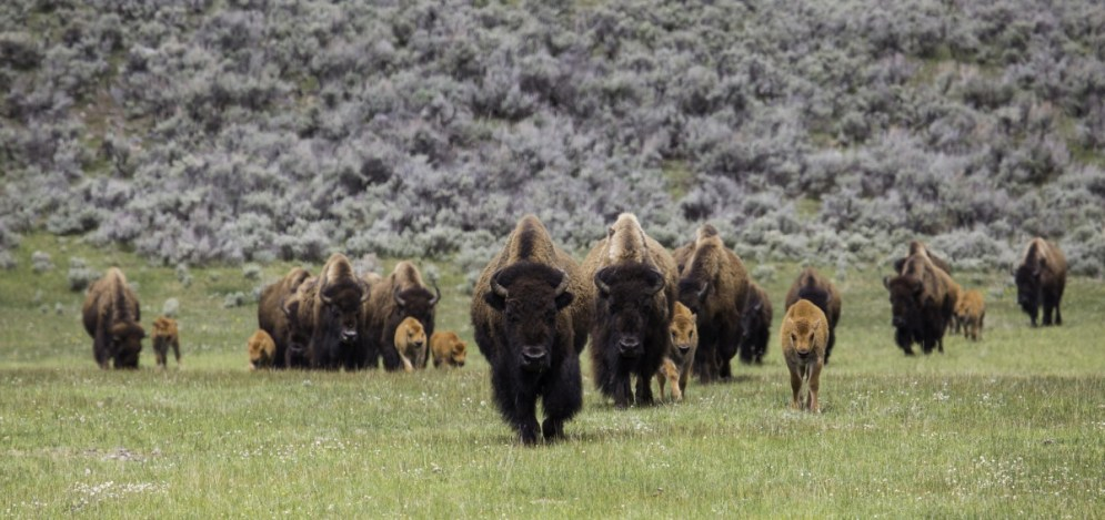 Bison herd on the move. Photo by Neal Herbert, National Park Service. From the Department of the Interior blog, published 5/9/16.