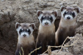 Once thought extinct - and then to be found as the rarest of mammals still living in the wild - the black footed ferret has grown from living at only one site in Wyoming to 28 different locations thanks to a captive breeding program. Shown are 3 black-footed ferrets in the wild. Photo by Kimberly Fraser, U.S. Fish and Wildlife Service. Posted on the US Department of the Interior blog.