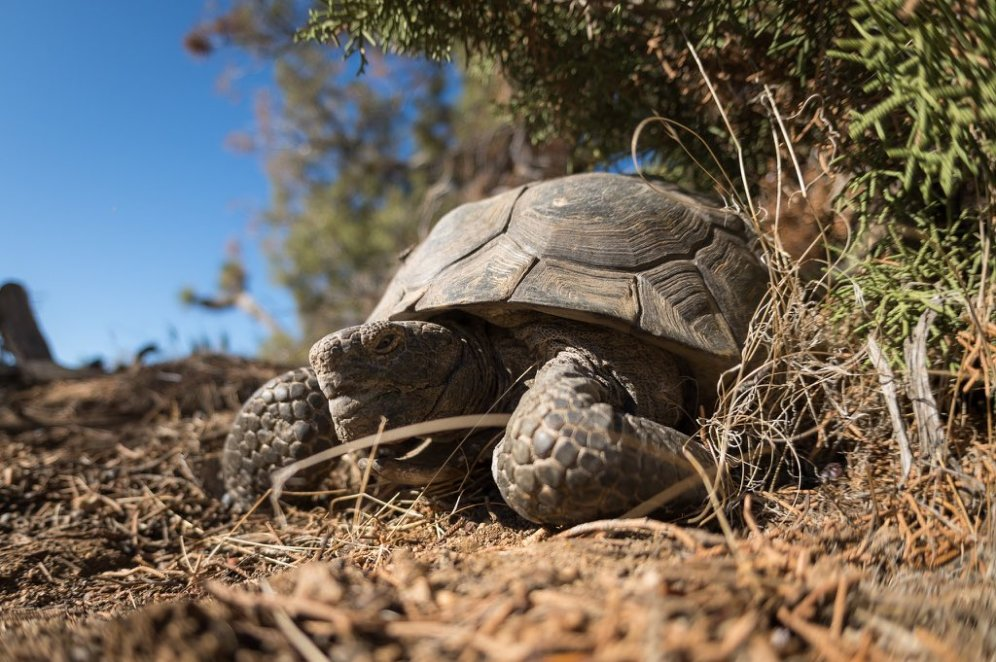A Desert Tortoise in Joshua Tree National Park. Tweeted by the US Department of the Interior, 8/4/16.