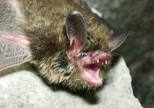 The Northern long-eared bat spends winter hibernating in caves and mines. Photo by Andrew King, USFWS. From the US Department of the Interior blog.
