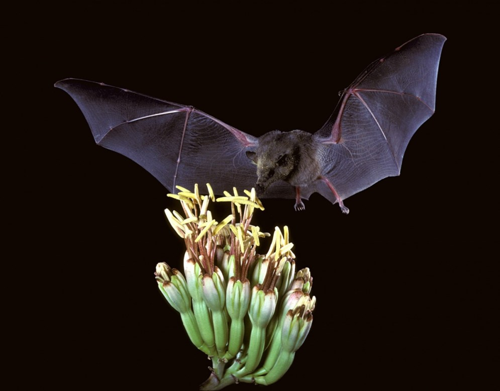 The Mexican long-tongued bat is a vital pollinator in desert systems. They have a long, bristle-like tongue, allowing them to sip nectar from agave and cacti. Photo by USFWS. From the US Department of the Interior blog.