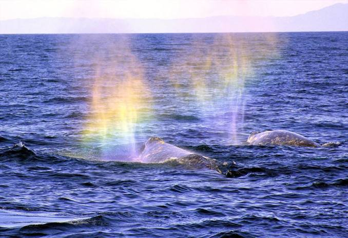 Whoa! Sunlight creates rainbows from the spouts of two gray whales at Channel Islands National Park off the California coast. The waters surrounding Channel Islands are home to more than 27 species of whales, dolphins and porpoises – representing about one-third of cetacean species found worldwide. If you're hoping to catch a gray whale sighting, try visiting the park during mid-December to mid-March when they migrate. Photo by Larry Goldman. Published on Tumblr by the US Department of the Interior, 12/6/16.