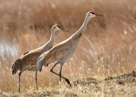 Greater sandhill crane pairs return to Seedskadee National Wildlife Refuge in late March and early April. They immediately begin to re-establish a nesting territory and will begin nest building/repair activities. This pair was out for a mid morning foraging stroll, looking for meadow voles, crayfish, and invertebrates. The invertebrates are found by probing the damp soils and by flipping over the cow pies left from the prescribed grazing conducted during the winter. Photo by Tom Koerner/USFWS. Posted on Flickr by the US Department of the Interior, 4/7/17.