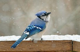 Blue Jays are another bird that tends to stick around during the winter months even though they do migrate. Photo by Finiky/CC. Tweeted by the US Fish & Wildlife Service, 1/3/16.