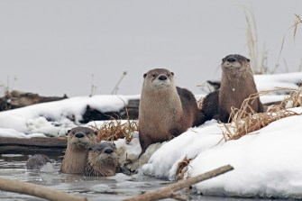 One of nature's most social and playful creatures, river otters have big personalities and even bigger appetites. Often seen in groups, they can be observed hunting and frolicking year round at Loess Bluffs National Wildlife Refuge in Missouri. In winter, you might even catch them sliding across the ice on their bellies. Photo by Kenny Bahr. Posted on Tumblr by the US Department of the Interior, 1/25/17.