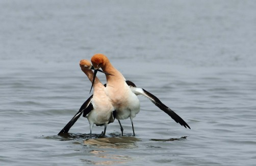 This might look like a fight, but it's part of the avocets' complicated courtship ritual. After mating, avocets stand side by side with their bills crossed and the male's wing draped over the female. National wildlife refuges, such as Bombay Hook in Delaware and Bear River in Utah, are great places for birding experiences. Photo by Julio Flego. From the Department of the Interior blog, 2/13/17.