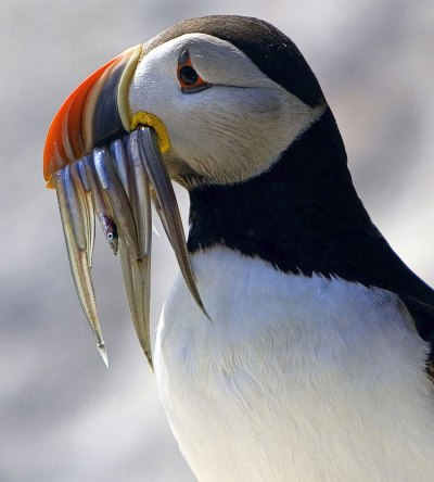 A worried-looking Atlantic puffin at Maine Coastal Islands National Wildlife Refuge wears its fish dinner before it eats it. From the US Fish & Wildlife website.
