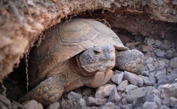 A Mojave desert tortoise emerges from his home in the desert near Las Vegas, Nevada. Photo by Kimberleigh Field/USFWS. From the US Fish & Wildlife Service website, Pacific Southwest Region.