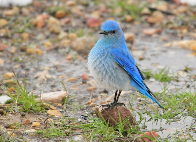Mountain Bluebird. Tweeted by the US Fish & Wildlife Service, 3/18/17.