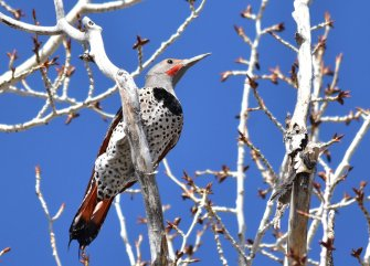A male Red-shafted Northern flicker on Seedskadee National Wildlife Refuge. Photo by Tom Koerner/USFWS. Tweeted by the US Department of the Interior, 4/17/18.