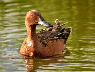 Cinnamon teal on Seedskadee National Wildlife Refuge Photo by Tom Koerner/USFWS. Taken 6/5/17 and posted on Flickr by the US Fish & Wildlife Service.