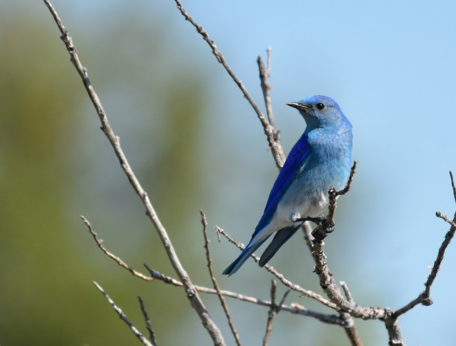 Mountain bluebird on Seedskadee National Wildlife Refuge Photoby Tom Koerner/USFWS. Taken on 6/15/17 and posted on Flickr by the US Fish & Wildlife Service.
